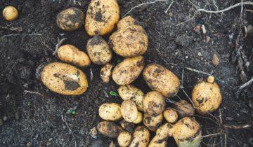 Vypěstujte si vlastní brambory