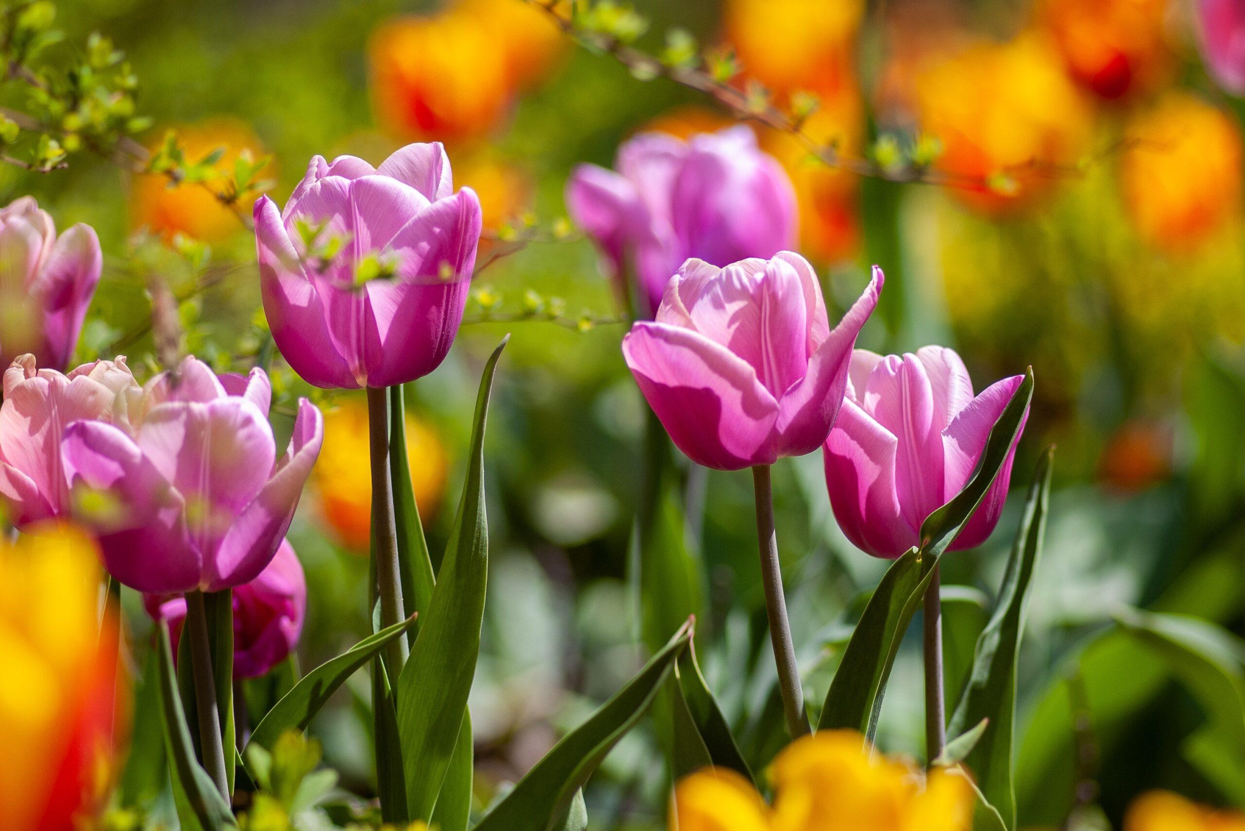 Definitivně přišlo jaro! kvetou tulipány.