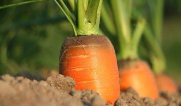Vypěstujte karotku – křupavéblaho snasládle máslovou chutí!