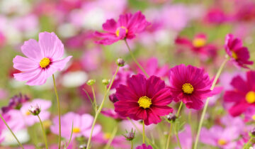 Roztančené letničky: Jak na to, aby kvetly více adéle